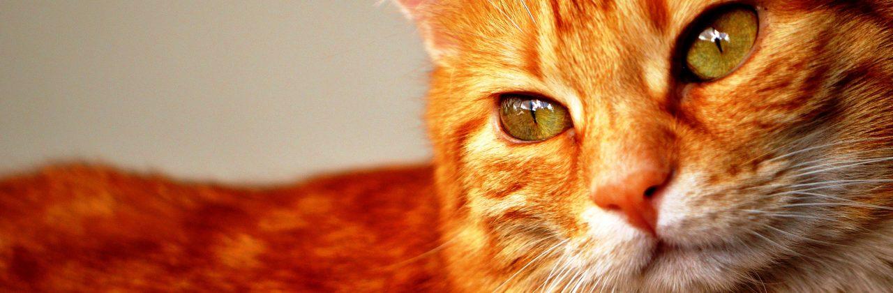 Etología felina: comportamiento, educación y manejo del gato