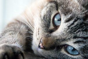 Gato común europeo atrigrado de ojos azules